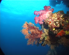 Variable soft coral on wall, Dendronephthya sp. Video 6311. Stock Footage