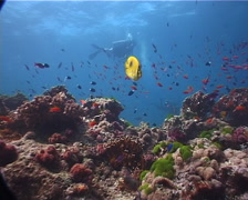 Group of scuba divers making a safety stop on shallow coral reef with Bennett's Stock Footage
