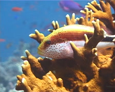 Freckled hawkfish, Paracirrhites forsteri, UP6348 Stock Footage