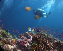 Tropical female model scuba diver swimming on shallow coral reef with Bennett's Stock Footage