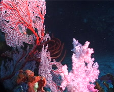 Adults and juveniles Variable soft coral, Dendronephthya sp. Video 6365. Stock Footage