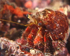 Longeye hermit crab feeding at night, Dardanus lagopodes, UP6380 Stock Footage