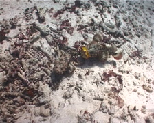 False stonefish fighting, Scorpaenopsis diabolus, UP6447 Stock Footage