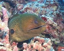Giant moray, Gymnothorax javanicus, UP6451 Stock Footage