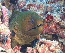 Giant moray, Gymnothorax javanicus, UP6450 Stock Footage