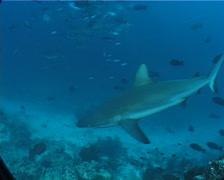Grey reef shark feeding in fish feeding arena, Carcharhinus amblyrhynchos, - stock footage