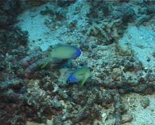 Bluehead tilefish darting, Hoplolatilus starcki, UP6489 Stock Footage