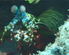 Peacock smasher mantis shrimp walking, Odontodactylus scyllarus, UP6513 Stock Footage