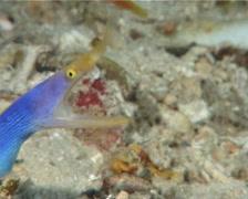 Blue ribbon eel gaping, Rhinomuraena quaesita, UP6507 Stock Footage
