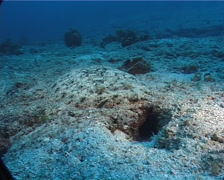 Flowery flounder fleeing on deep sand and coral rubble, Bothus mancus, UP6515 Stock Footage