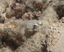 Celebes flathead at night, Thysanophrys celebicus, UP6636 Stock Footage