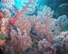 White polyp purple soft coral, Dendronephthya sp. Video 6647. Stock Footage