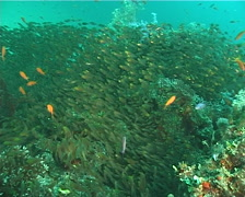 Golden sweepers swimming and schooling, Parapriacanthus ransonneti, UP6670 Stock Footage