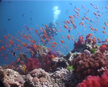 Distant scuba diver making a safety stop on beautiful healthy and diverse reef Stock Footage