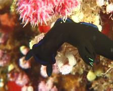 Morose black and blue slug walking, Tambja morosa, UP6686 Stock Footage
