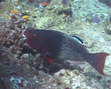 Ember parrotfish feeding, Scarus rubroviolaceus, UP6695 Stock Footage
