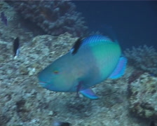 Ember parrotfish feeding, Scarus rubroviolaceus, UP6694 Stock Footage