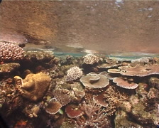 Ocean scenery low tide, hard coral gardens, on very shallow reef and surface, Stock Footage