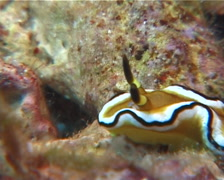 Black edge white brown slug walking, Glossodoris sibogae, UP6765 Stock Footage