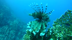 common lionfishordevil firefish(Pterois miles) - stock footage