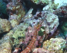 Orange-spotted pipefish, Corythoichthys ocellatus, UP6762 Stock Footage