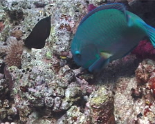 Steephead parrotfish feeding, Chlorurus microrhinos, UP6773 Stock Footage