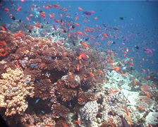 Coral cod swimming on shallow coral reef, Cephalopholis miniata, UP6797 Stock Footage