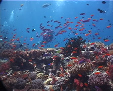 Group of scuba divers swimming on beautiful healthy and diverse reef with Stock Footage