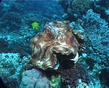 Giant clam, Tridacna squamosa, UP6843 Stock Footage