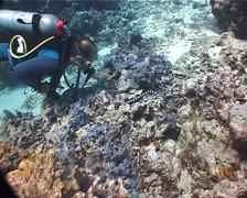 Banded sea krait hunting, Laticauda colubrina, UP6869 Stock Footage
