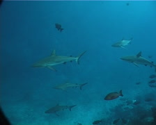 Grey reef shark swimming and schooling in deep channel, Carcharhinus Stock Footage