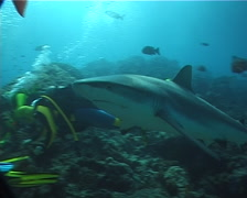 Group of scuba divers watching the critters in fish feeding arena with Grey reef - stock footage