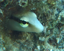 Lance blenny nodding, Aspidontus dussumieri, UP6917 Stock Footage