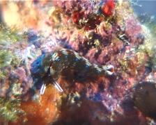 Painted slug, Thuridilla bayeri, UP6968 Stock Footage