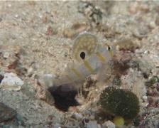 Juvenile Randalls shrimpgoby hovering, Amblyeleotris randalli, UP6972 Stock Footage