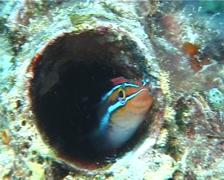 Bluestriped fangblenny nodding, Plagiotremus rhinorhynchos, UP6971 Stock Footage