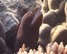 White-mouth moray gaping, Gymnothorax meleagris, UP6996 Stock Footage