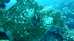 Common lionfishordevil firefish(Pterois miles) Stock Footage
