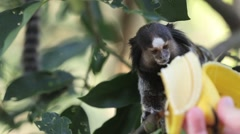 Marmoset Monkey being fed Stock Footage