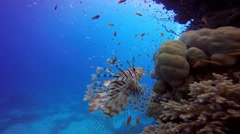 Lionfish, gracefully floating over a coral reef. - stock footage