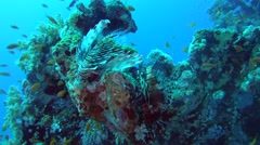 Two common lionfish or devil firefish (Pterois miles) Stock Footage