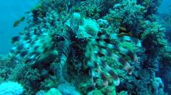 Coral groper (Cephalopholis miniata) Stock Footage