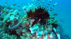 Common lionfish or devil firefish (Pterois miles) Stock Footage