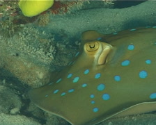 Blue-spotted lagoon ray, Taeniura lymma, UP7000 Stock Footage