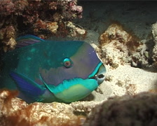 Steephead parrotfish sleeping, Chlorurus microrhinos, UP7029 Stock Footage