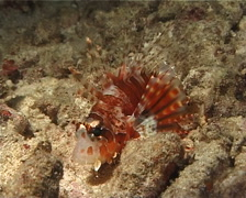 Zebra lionfish at night, Dendrochirus zebra, UP7041 Stock Footage