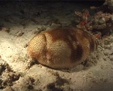 Sea cucumber crab at night, Lissocarcinus orbicularis, UP7047 Stock Footage