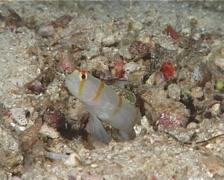 Randalls shrimpgoby hovering, Amblyeleotris randalli, UP7053 Stock Footage