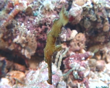 Robust ghost pipefish hovering, Solenostomus cyanopterus, UP7091 Stock Footage