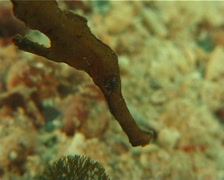 Robust ghost pipefish hovering, Solenostomus cyanopterus, UP7094 Stock Footage